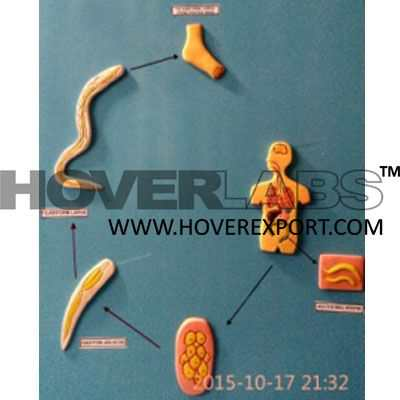Life Cycle of Hook Worm Model India, Manufacturers